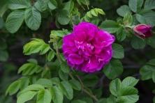 anchorage flower