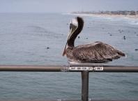 Pelican's fly 2